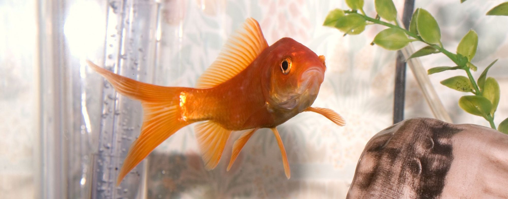 Small orange fish swimming in a tank with an aquarium filtration system