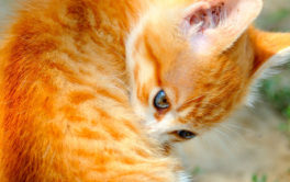 A ginger kitten biting at her back, suffering from an ear mite infection