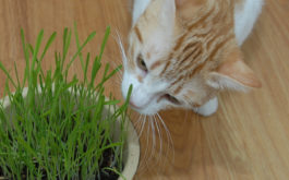 Cat sniffing a catnip plant inside of her owner's home, as a natural treat