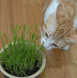 Orange cat smelling a small green potted plant in her owner's house