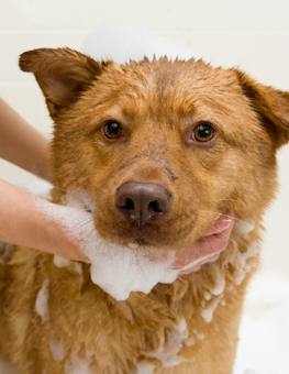 All dogs appreciate a grooming with a good shampoo