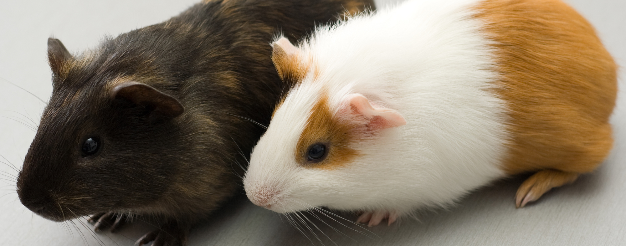 Pair of hamsters side by side, despite being nocturnal and solitary