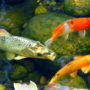 A group of exotic pet fish, swimming in their outdoor pond during winter