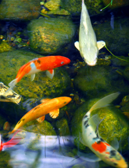 Outdoor pond filled with exotic pet fish, undergoing winter maintenance