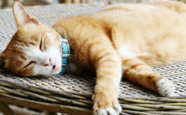 Laying out on a table, orange haired cat takes a nap outside