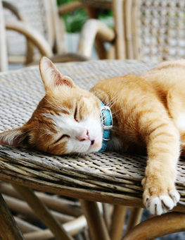While napping outside, collared cat's sense of hearing remains active