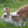 Pet rabbit hopping on the grass outside, thomping their hindlegs