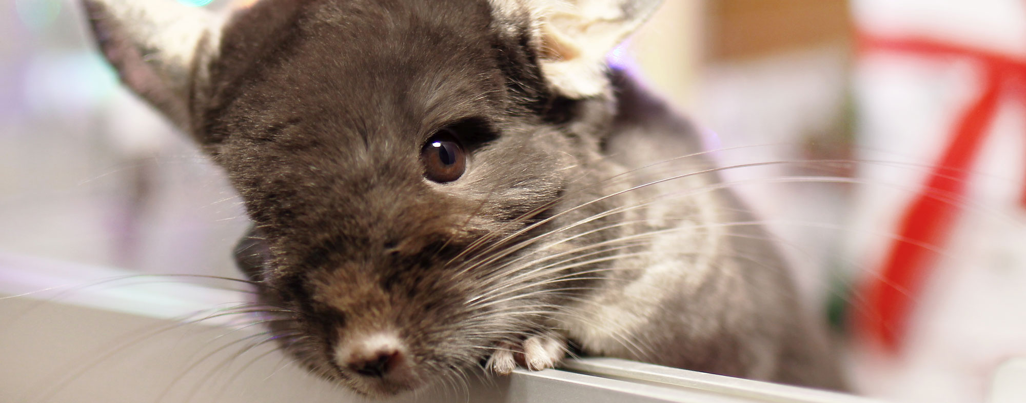 What chinchillas eat ought to be a mixture of protein, fat and fiber