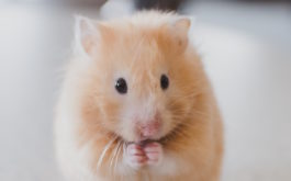 A small animal like a gerbil doesn't require any grooming or bathing