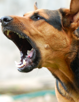 An aggressive German shephard barking at someone