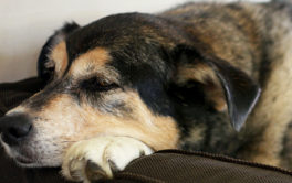 Dog with arthritis resting head and paws on arm of couch