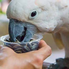 A pet bird consuming a diet of seeds out of a cup