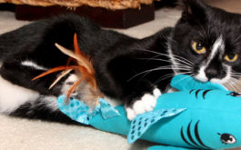 Black and white cat playing with cattraction cat toy.