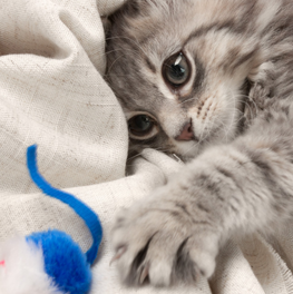 A blue and white mouse toy enticing small kitten on a blanket