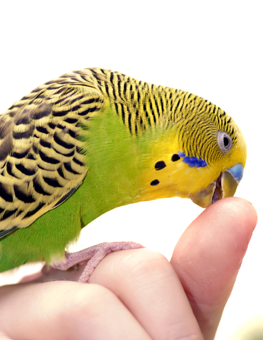 Domesticated birds like parakeets will be more docile when held