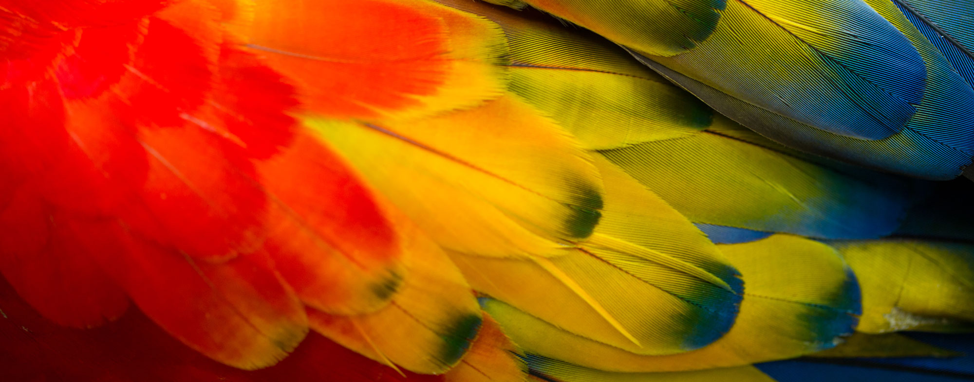 Rainbow of bird feathers that can be clipped painlessly by a vet