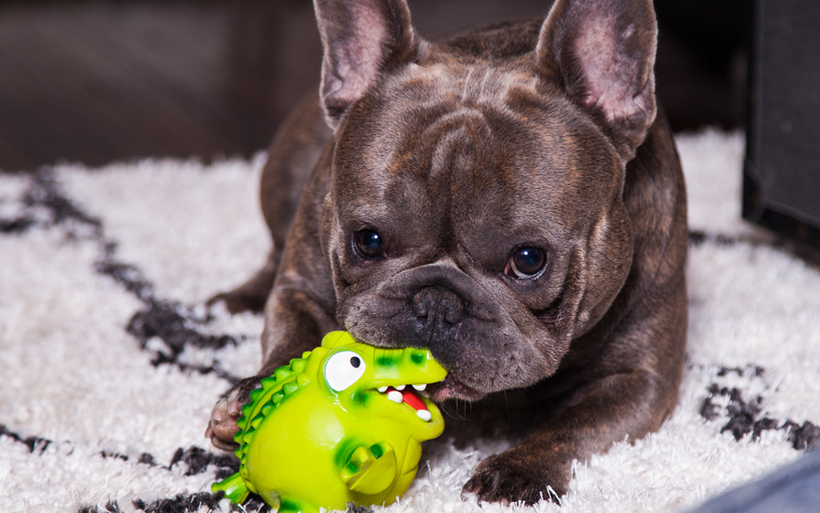 Adorable small dog playing with a Hartz zoo balloon dog toy.