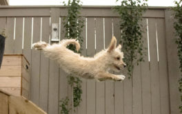 Small dog off-leash, sans collar, leaping through the air