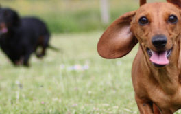 A smooth haired dachshund racing another wiener dog at the park