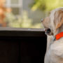 Adult dog waiting patiently for owner to return from vacation