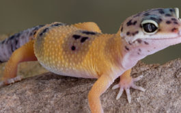 An orange and purple pet gecko emerging at night