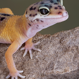 Pet gecko perched on a granite stone inside of an aquarium