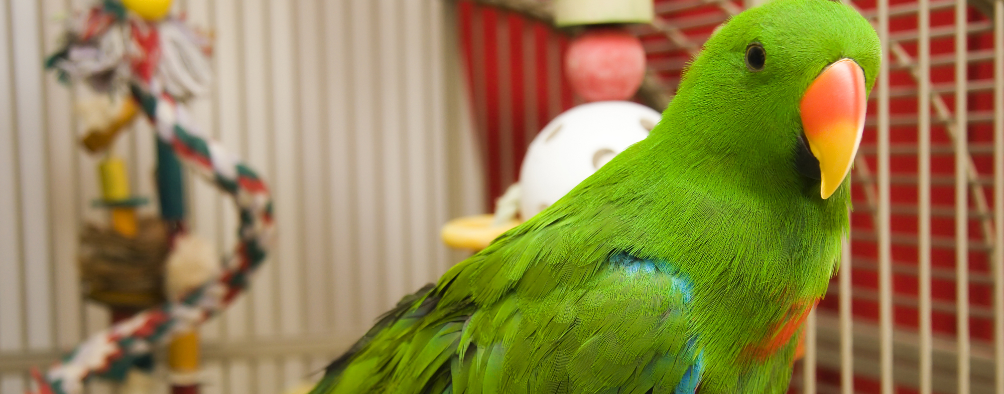 A vibrantly green pet parrot, gazing from inside its cage