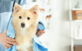 Dog being groomed and dried with a blue towel by owner