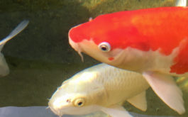 A pair of pet fish who may be vulnerable to outdoor predators