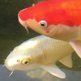 An outdoor pond containing two pet fish vulnerable to predators
