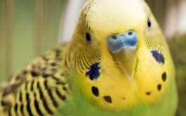 A pet bird with yellow and green plummage enduring the winter