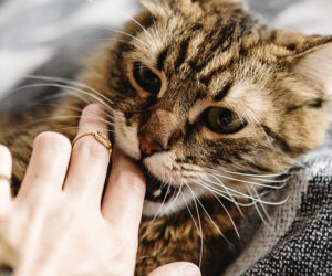 Young cat biting finger playfully. Learn more about cat play biting.