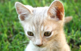 If you medicate your kitten, you can cure their ear mite infection