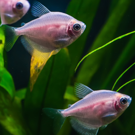 Swimming in a freshwater aquarium with live plants, pet fish thrive