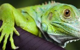 A pet iguana with bright green skin resting on the edge of his cage