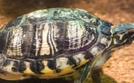 Pet turtle wearing a shell arrayed with patterns white, black, and yellow