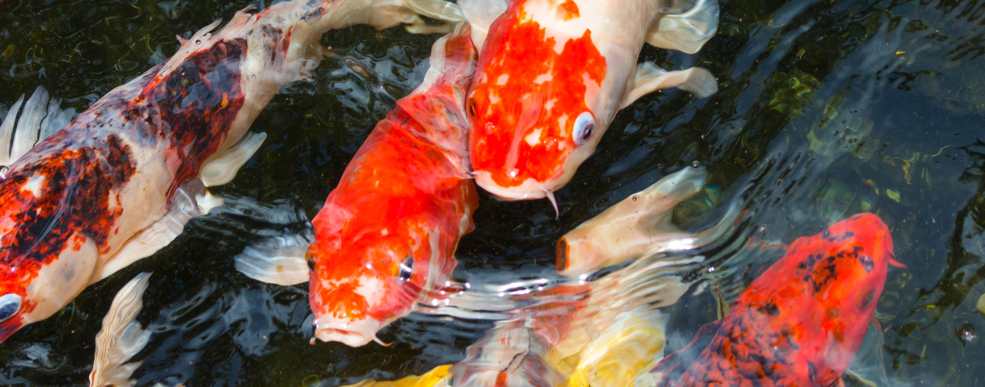 A school of pet fish in an outdoor pond, gathering to feed on food