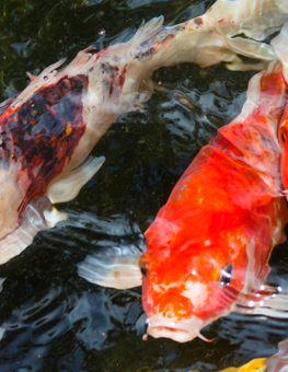Pair of pet fish at the water's surface of an outdoor pond, ready to eat