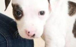 A guilty pet puppy who may have urinated somewhere in his house