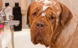 Massive dog covered in wet shampoo, being bathed in a bathtub