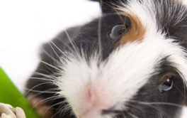 Black-white and brown furred pet guinea pig, eating a supply of seeds