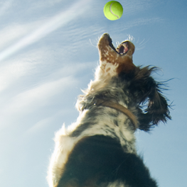 Dog leaping into the air to catch a tennis ball, playing outside at park