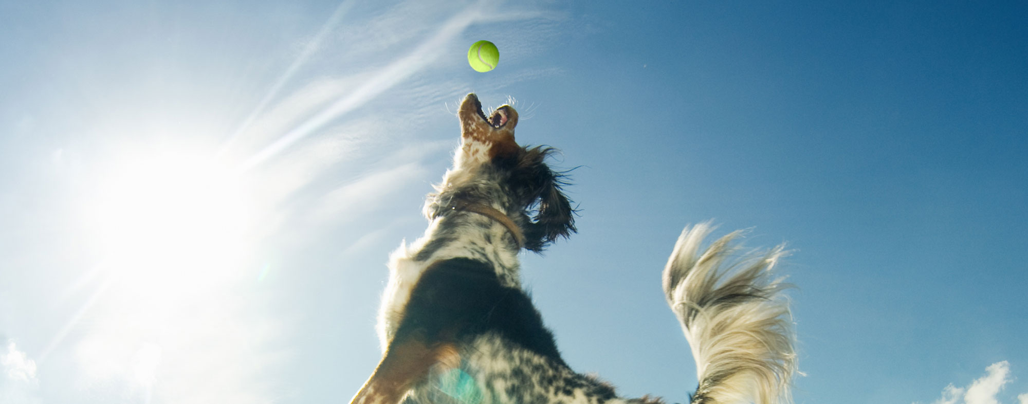Jumping to catch a tennis ball at the park, dog exhibits playful behavior