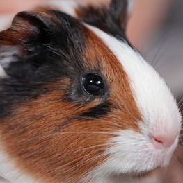 In a trance-like state, pet guinea pig chirps longingly for lost partner