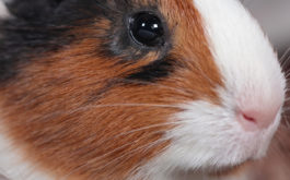 A depressed pet guinea pig staring off into the distance inside his cage
