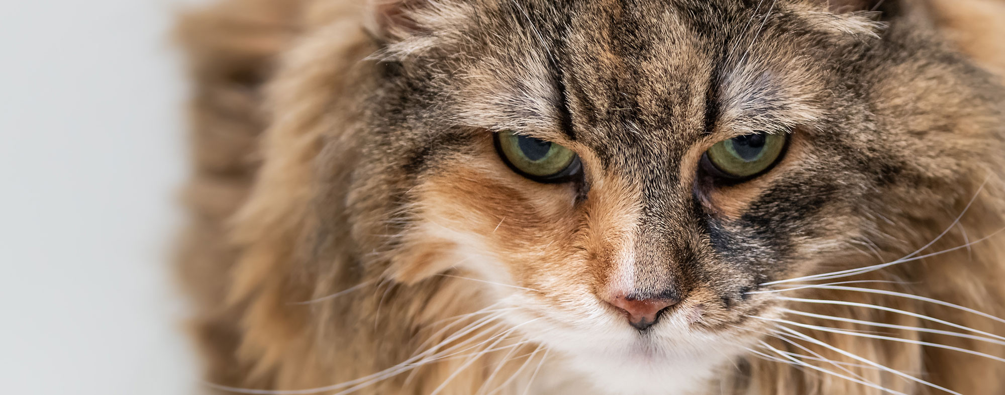 Orange and brown furred cat who may have a urinary tract infection