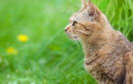 After receiving a flea and tick treatment, tabby cat goes roaming outside