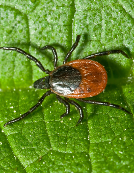 Small tick walking past droplets of water, in midst of climate change