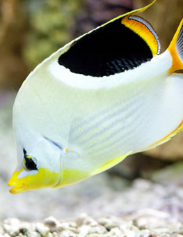 After a cleaning of its freshwater aquarium, pet fish swims to tank's bottom. Learn how to clean an aquarium