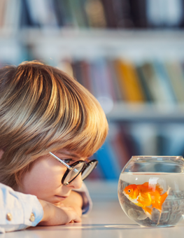 A pet goldfish swimming around its bowl, bonding with a young student